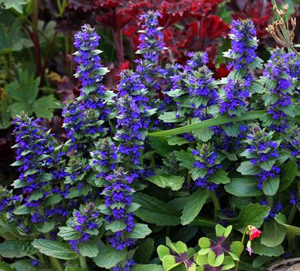 Photo of Geneva Bugleweed (Ajuga genevensis) uploaded by Calif_Sue