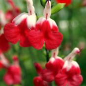 Location: In backyard garden, Elk Grove, CADate: 2014-4-26Hot Lips salvia