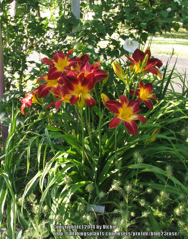 Photo of Daylily (Hemerocallis 'Ruby Spider') uploaded by blue23rose