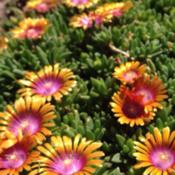 Location: Medina, TNDate: 4/25/2014Delosperma 'Fire Spinner' looks great in its 3rd year h