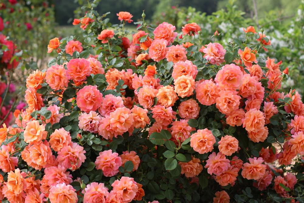 Simple Rose Garden: Photo Of The Bloom Of Rose (Rosa 'Easy Does It') Posted By