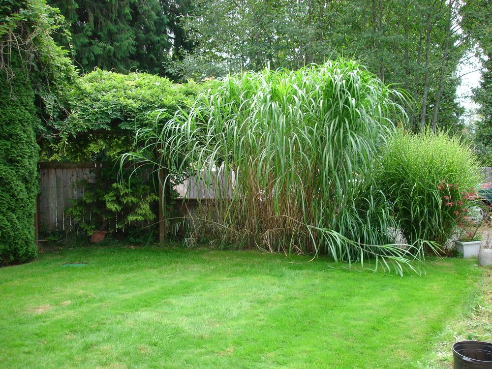 Photo of the entire plant of japanese silver grass for Tall oriental grass