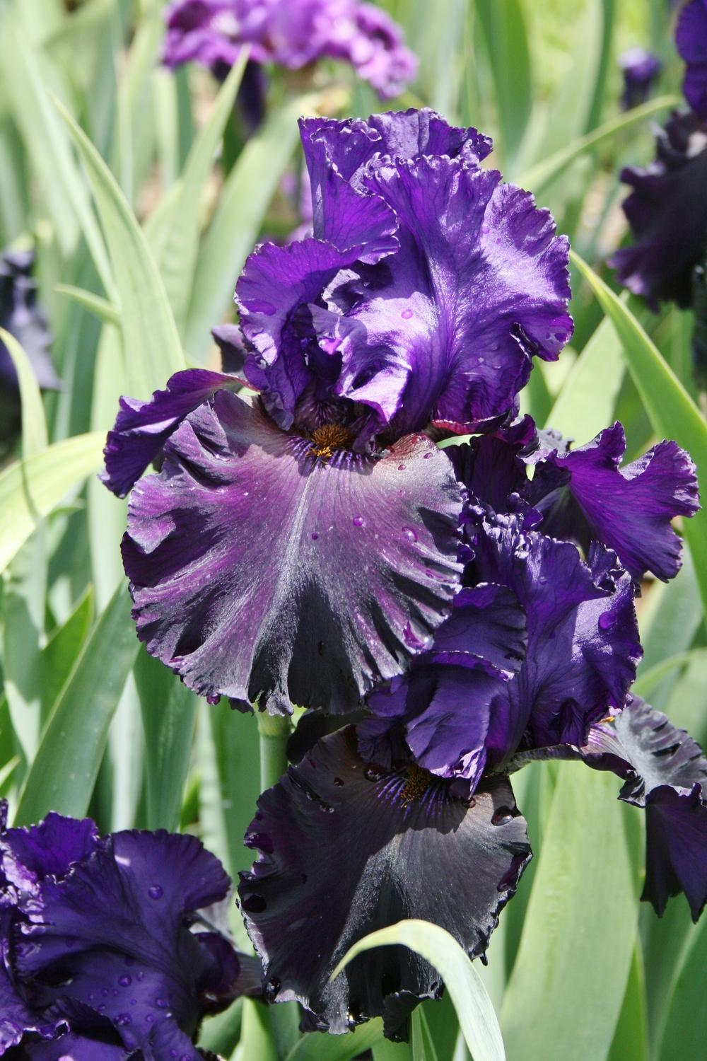 Photo of Tall Bearded Iris (Iris 'Blackbird Landing') uploaded by Calif_Sue