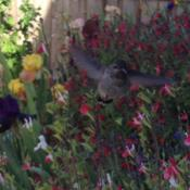 Location: In backyard garden, Elk Grove, CADate: 2014-4-26Hot lips salvia and hummingbird