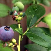 Location: In backyard garden, Elk Grove, CADate: 2014-4-26Blueberry fruit O'Neal
