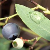 Location: In backyard garden, Elk Grove, CADate: 2014-4-26Blueberry fruit Misty