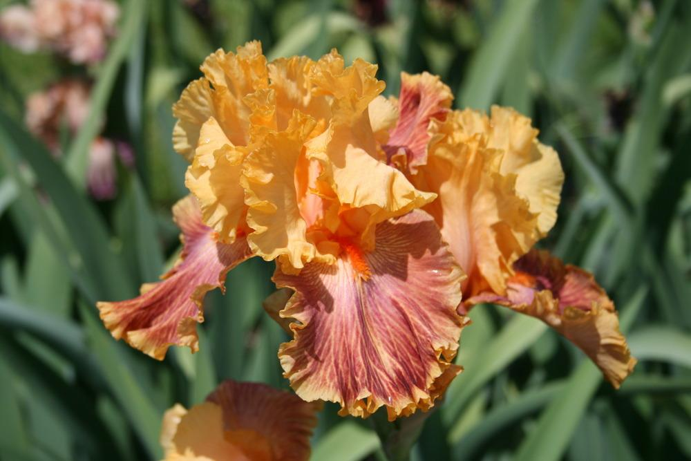 Photo of Tall Bearded Iris (Iris 'Bottle Rocket') uploaded by Calif_Sue