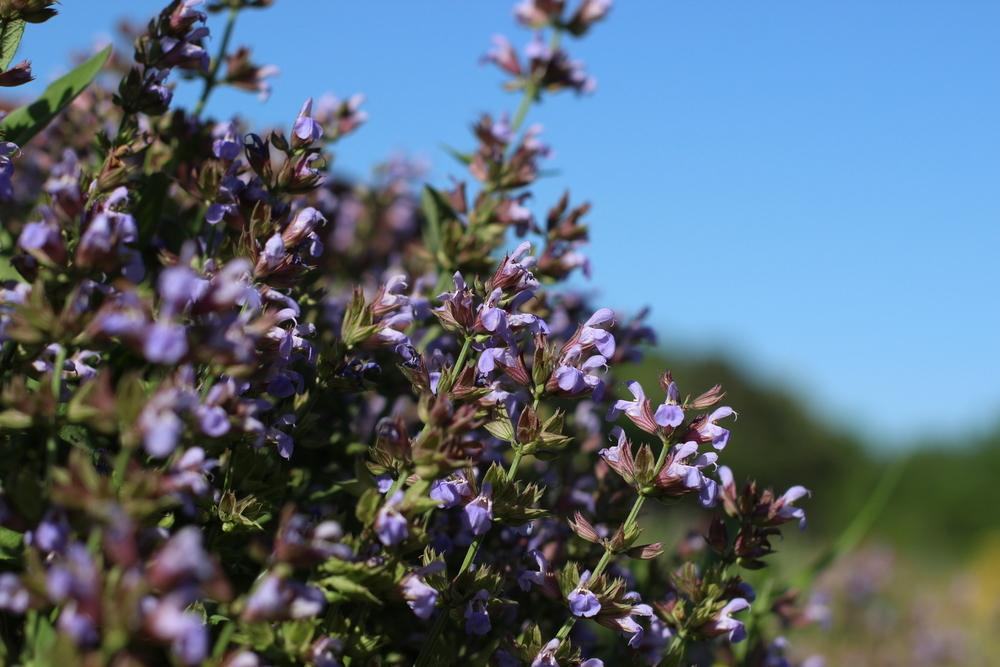 Photo of Culinary Sages (Salvia officinalis) uploaded by dave