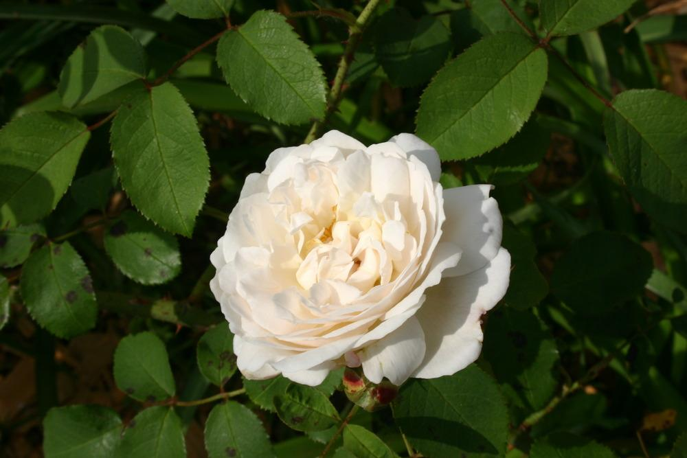 Photo of Rose (Rosa 'Winchester Cathedral') uploaded by jon