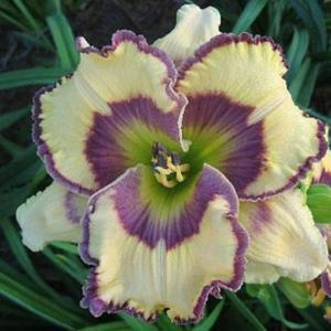 Photo Courtesy of Bonnie Nichols, Oak Hill Daylilies. Used with