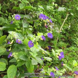 The all things plants most popular vines and climbers garden blue glory vine thunbergia battiscombei posted by plantladylin mightylinksfo Images