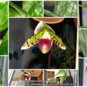 Location: Indoors - San Joaquin County, CADate: Dec 2011 to March 2012The long bloom sequence of my noid Paphiopedilum