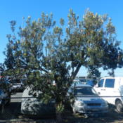 Location: Weinam Creek Marina, Redland Bay, Queensland, AustraliaDate: 2014-05-04There are several trees in the security carpark.