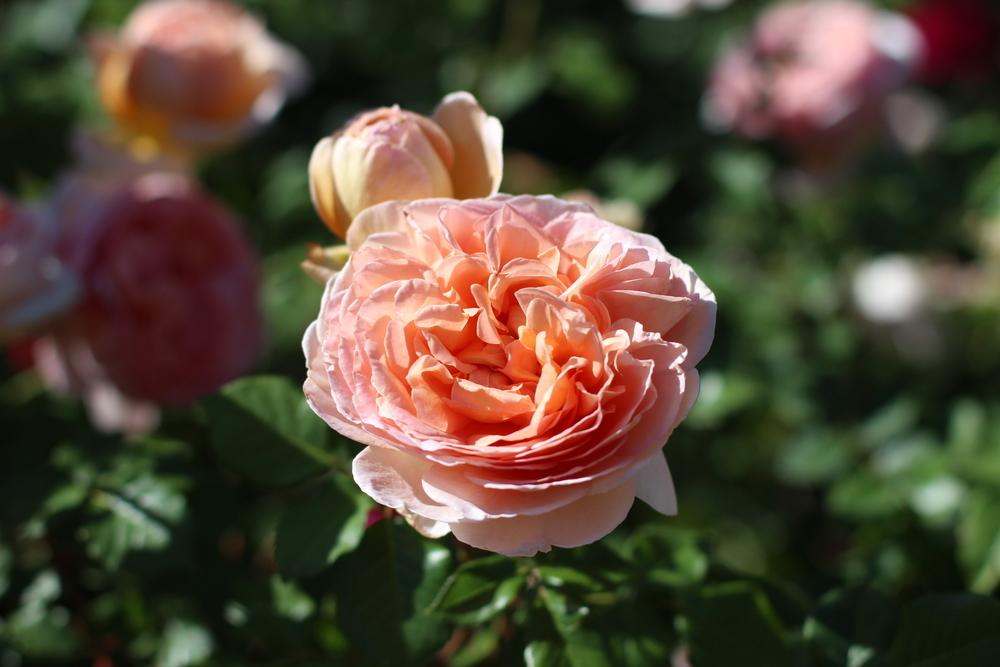 Photo of Rose (Rosa 'Abraham Darby') uploaded by dave