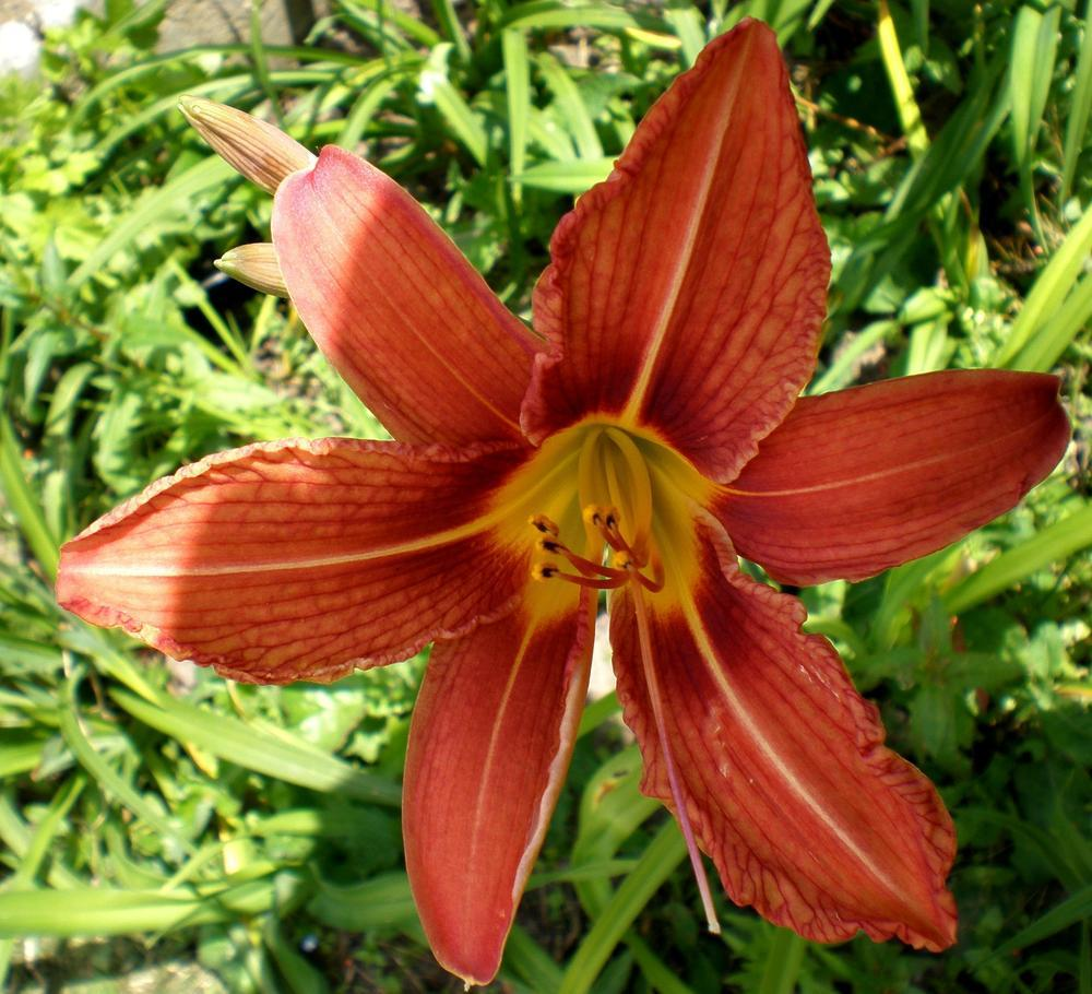Photo of Ditch Lily (Hemerocallis fulva) uploaded by mainstreet