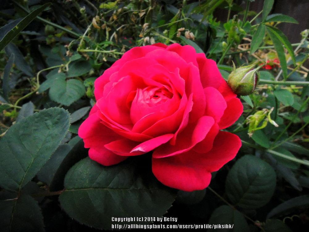 Photo of Roses (Rosa) uploaded by piksihk