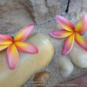 Location: Tampa, FloridaDate: May 2014Plumeria Barbados Showgirl / Confetti (left purchased(right , pur