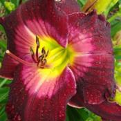 Location: Oak Hills Daylilies, Athens, ILPhoto Courtesy of Bonnie Nichols, Oak Hill Daylilies.