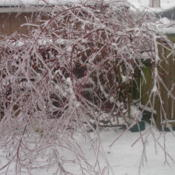 Location: Puyallup,WashingtonDate: 2012-01-20This is what they look like during an ice storm