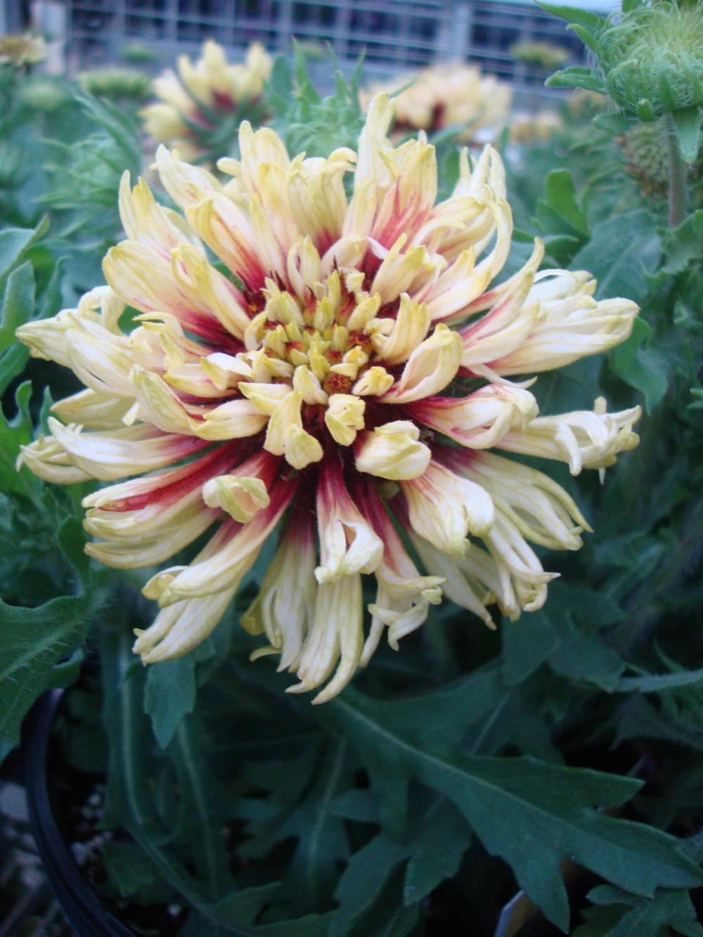 Photo of Blanket Flower (Gaillardia 'Jazzy Wheeler') uploaded by Paul2032