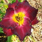 Location: Oak Hills Daylilies, Athens, ILPhoto Courtesy of Bonnie Nichols, Oak Hill Daylilies. Used with