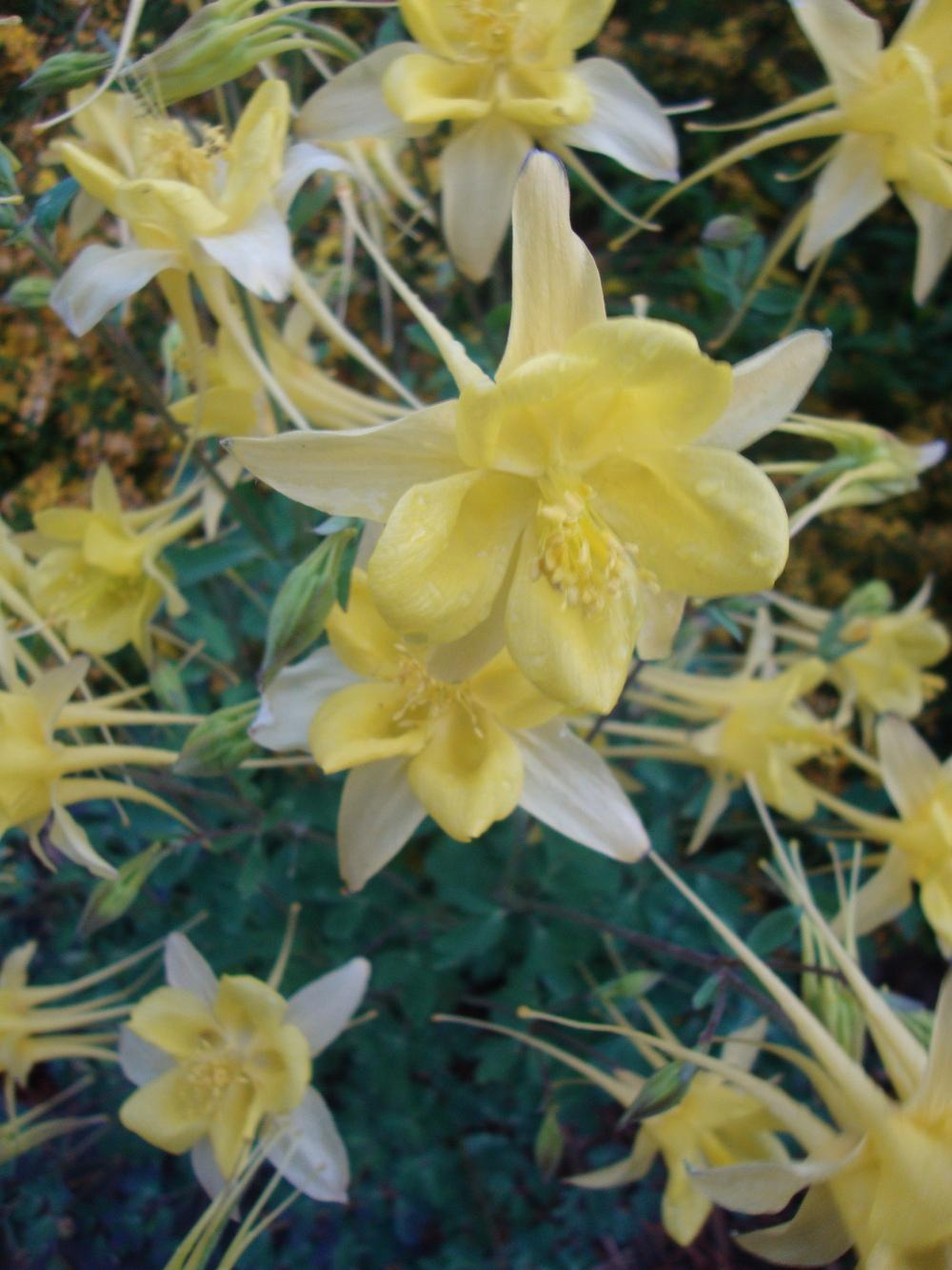 Photo of Columbines (Aquilegia) uploaded by Paul2032