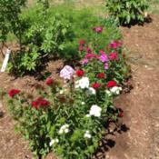 Location: South CarolinaDate: Spring Sweet William Single Mixed