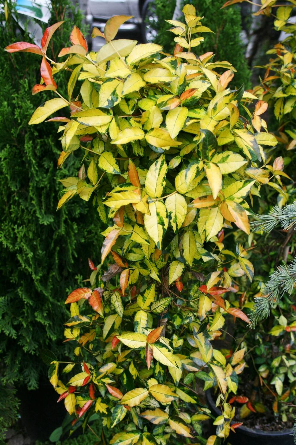 Photo of the entire plant of asian jasmine trachelospermum gold photo of asian jasmine trachelospermum gold brocade uploaded by califsue dhlflorist Gallery