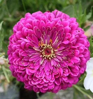 Photo of Double Zinnia (Zinnia 'Giant Violet Queen') uploaded by Calif_Sue