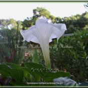 Location: DeLand FloridaDate: 2014-05-10This pure white Datura is an eye catcher in the gardens