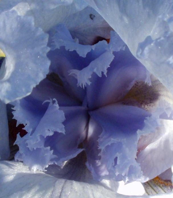 Photo of Tall Bearded Iris (Iris 'Acoma') uploaded by Heart2Heart