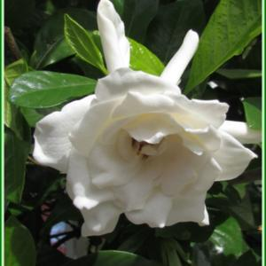 My favorite fragrant blooming plant! I actually have mine growing
