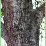 Location: Sebastian, FloridaDate: 2014-05-11The Laurel Oak has very attractive bark.