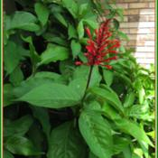 Location: Sebastian, FloridaDate: 2014-05-11This is the #1 plant that attracts hummingbirds to my yard. Easy
