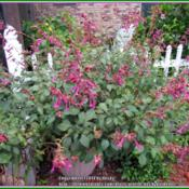 Location: Sebastian, FloridaDate: 2014-05-11I grow Wendy's Wish Salvia in a large pot. It attracts bees and h