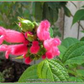 Location: Sebastian, FloridaDate: 2014-04-27I love the fuzzy blooms on this salvia! So do the bumbl