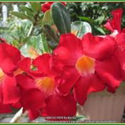 Location: Sebastian, FloridaDate: 2014-05-11This is a prolific blooming plant! Such a brilliant red