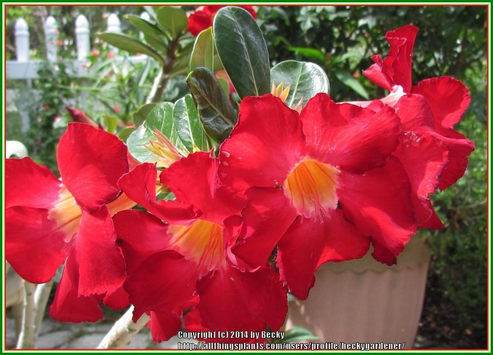 Photo of Desert Rose (Adenium obesum) uploaded by beckygardener
