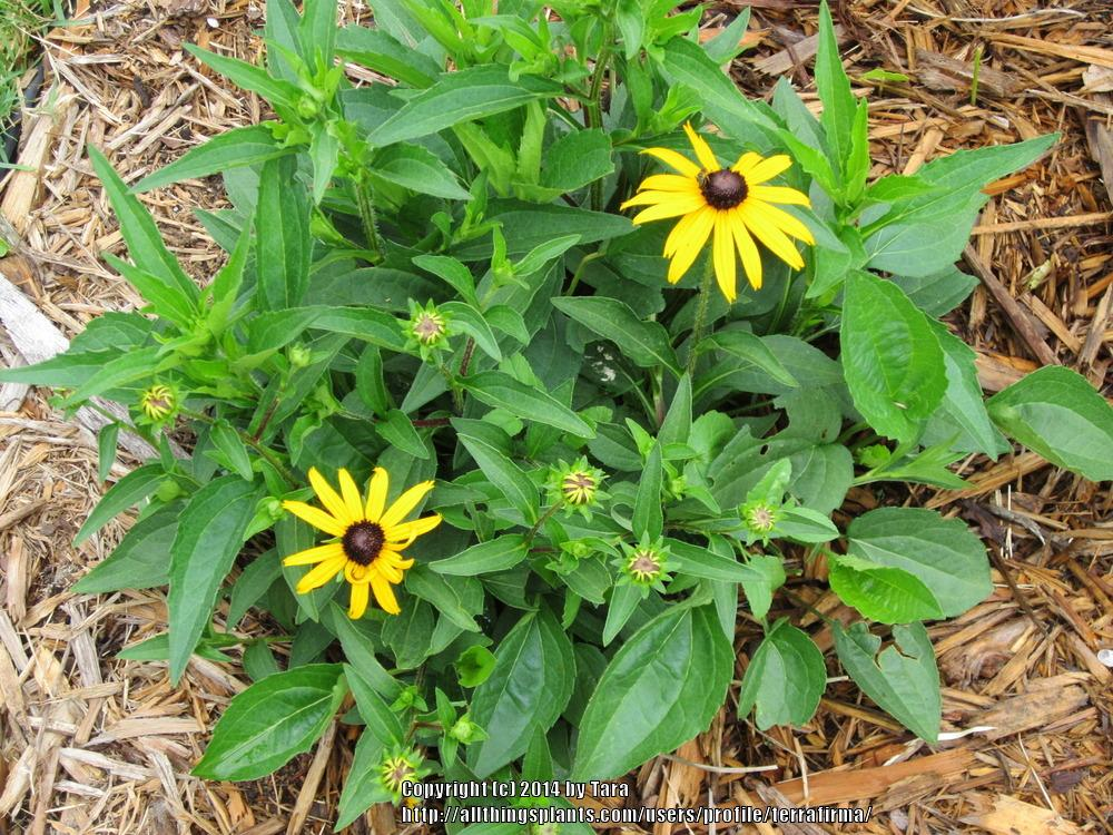 Photo of Black Eyed Susans (Rudbeckia) uploaded by terrafirma