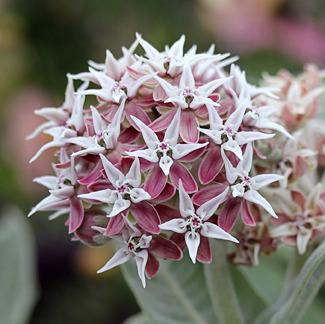 Photo of Showy Milkweed (Asclepias speciosa 'Davis') uploaded by Calif_Sue