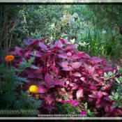 Location: My gardens in DeLand FloridaDate: 2014-05-13This is a great durable plant that packs a punch of incredible co