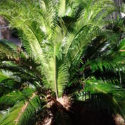 Location: GardenDate: 2014-05-13The new fronds of a Double Sago. Taken as a Pup from th