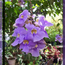 The all things plants most popular vines and climbers garden blue sky vine thunbergia grandiflora posted by davidofdeland mightylinksfo
