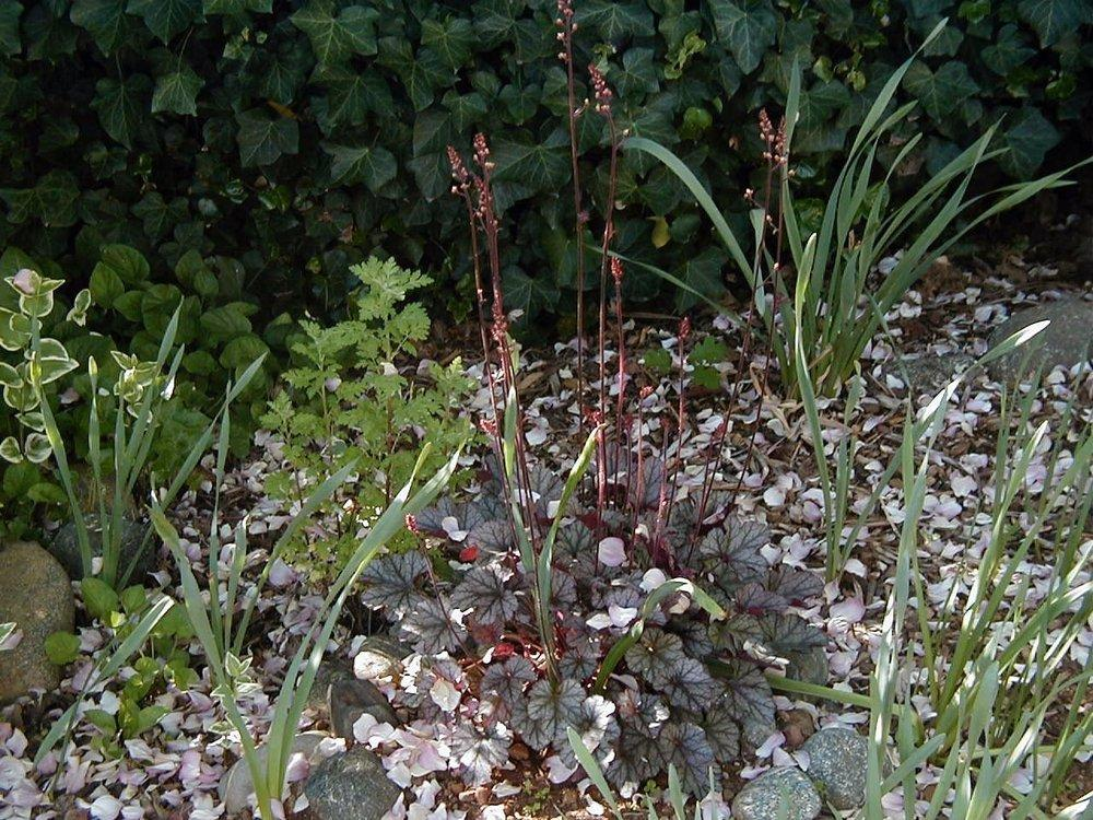 Photo of Coral Bells (Heuchera 'Silver Scrolls') uploaded by RoseBlush1