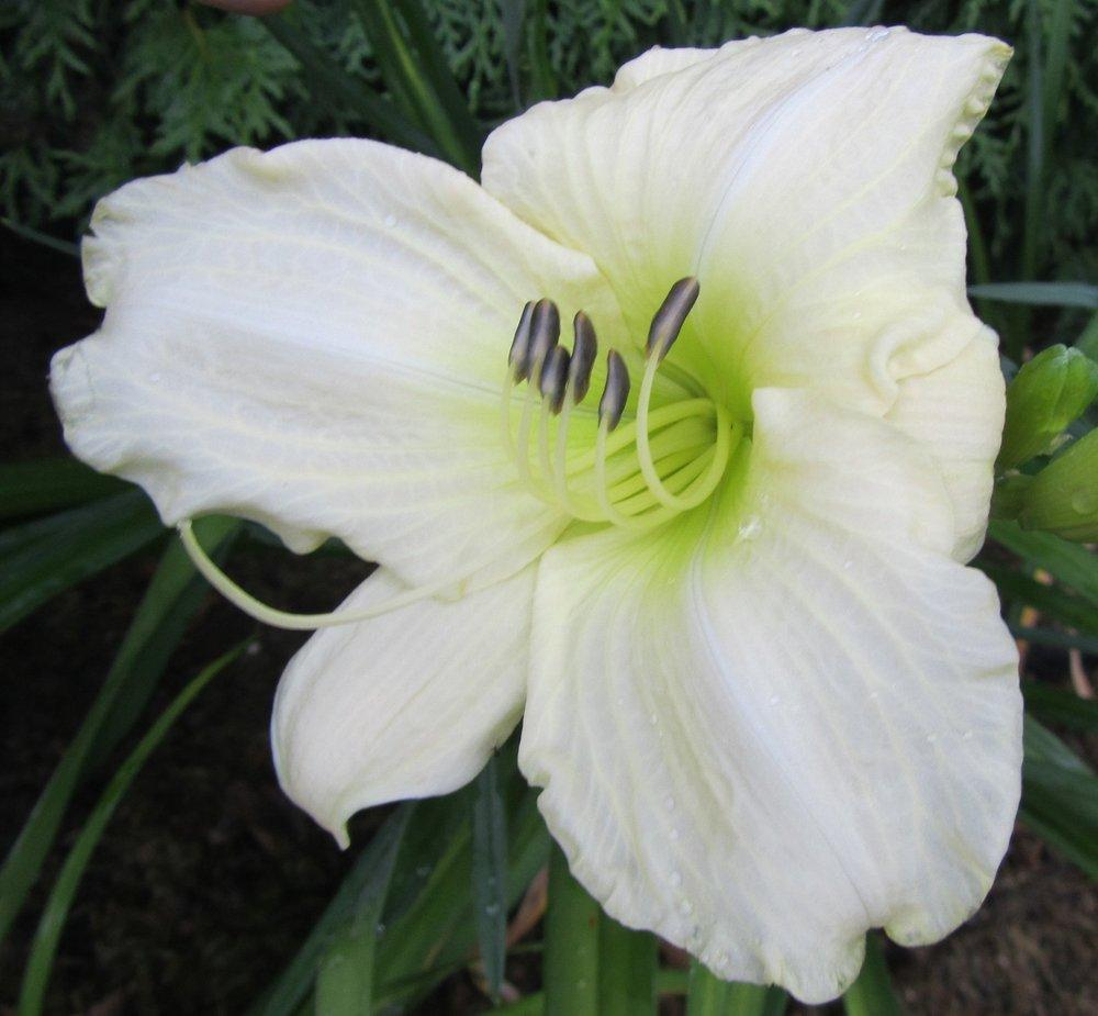 Photo of Daylilies (Hemerocallis) uploaded by queerbeet