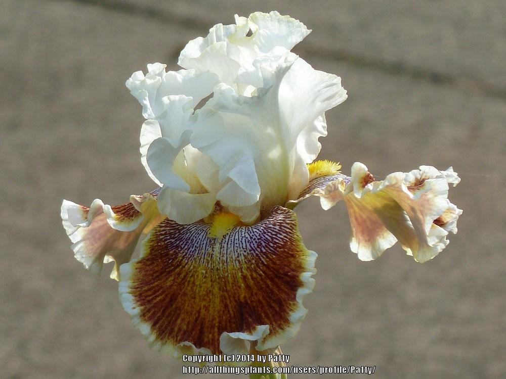 Photo of Tall Bearded Iris (Iris 'Wonders Never Cease') uploaded by Patty