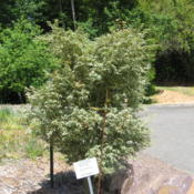 Location: Crescent City, CaliforniaDate: 2014-05-16Grown in full sun at the coast...Brookings, oregon