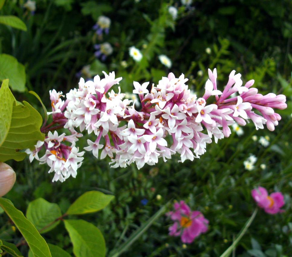 Photo of Lilac (Syringa 'Perlen-Flieder') uploaded by Heart2Heart