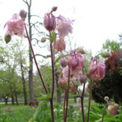 Location: Lincoln NE zone 5Date: 2014-05-19This charming columbine is best viewed up close.