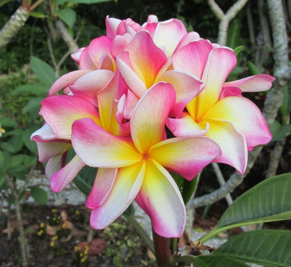Plumerias plant care and collection of varieties garden izmirmasajfo